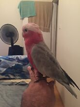 Missing Galah Liverpool Liverpool Area Preview