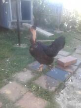 Naked head chicken for sale Cranbourne Casey Area Preview
