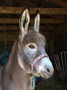 Jenny donkey