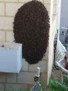 Bee swarm or hive removal for free High Wycombe Kalamunda Area Preview