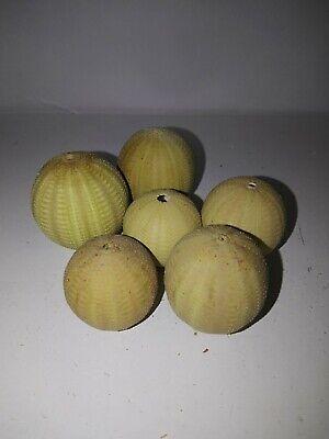 6 x lime green sea urchins. Sea shell beach home coastal decor. Collectors. #3
