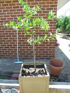 MEYER LEMON TREE IN $75.00 RESIN POT AND POTTING MIX Canning Vale Canning Area Preview