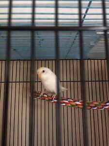 White budgie, age n sex unknown, no cage included