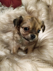 Chihuahua puppy long coat