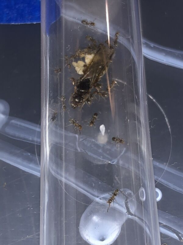 Liometopum occidentale queen - Velvety tree ant COLONY -Ant Colony Starter - 15w