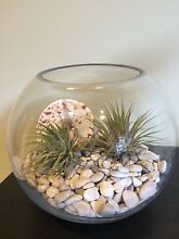 Air plants in a glass display bowl Yarraville Maribyrnong Area Preview
