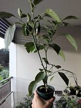 Jalapeno Chilli Plants Homebush West Strathfield Area Preview