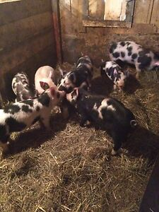Berkshire/Tamworth cross piglets