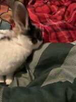 2 male rabbits and cage for sale 120$
