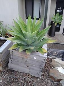 Three Large Agaves In Rustic Wooden Planters Jindalee Brisbane South West Preview