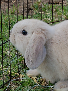 3 pure breed mini lop kits- Vienna carriers- litter trained Beldon Joondalup Area Preview