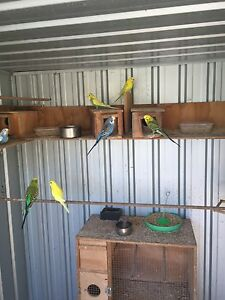 Budgies Helensvale Gold Coast North Preview
