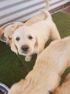 Golden Retriever puppy Legana West Tamar Preview