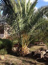 Date palm exotic plants Endeavour Hills Casey Area Preview