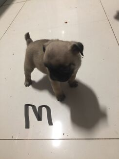 Frug puppy for sale.