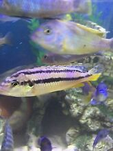 Auratus fish for sale Liverpool Liverpool Area Preview