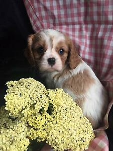 Purebred Pet only King Charles Cavalier puppies Hepburn Area Preview