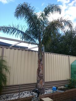 Palm tree for sale  Keysborough Greater Dandenong Preview