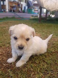 Beautiful puppies for sale Bassendean Bassendean Area Preview