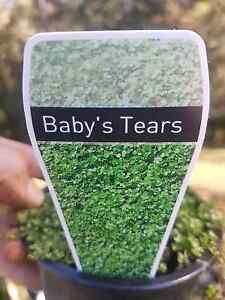 Helxine solerolii Babys tears plants Bonogin Gold Coast South Preview