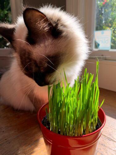 Cat Dog Grass Seeds, 400+ Super Sweet Oat Grass Seeds, Best Xmas gifts for Pets