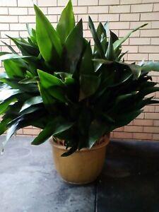 Aspidistras plant..in glazed pot