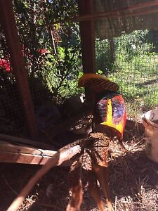 Male and female pheasant Thomastown Whittlesea Area Preview