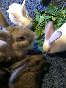 Flemish giant babies and mama for sale