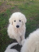 Maremma livestock guardian pups Yetman Inverell Area Preview