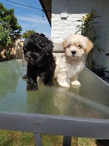 Shoodle puppies for sale