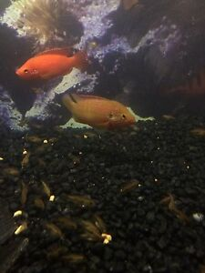 Breeding Pair Jewel Cichlids