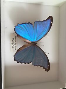 Papillon Morpho de collection