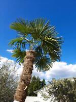 Hanfpalme trachycarpus fortunei Saarland - Wadgassen Vorschau