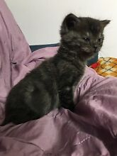 Kittens for free to good home (all gone pending pickup) Broadmeadows Hume Area Preview