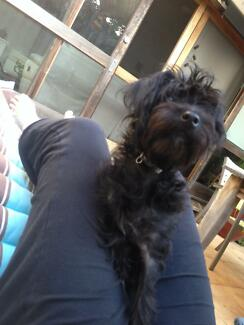 LOOKING FOR A POODLE CROSS FEMALE Newcastle 2300 Newcastle Area Preview