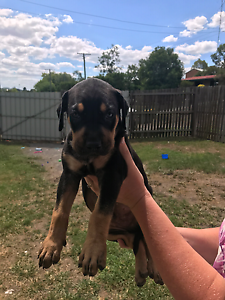 Catahoula x Dane Stag Wolf Arab PUPPIES Monkland Gympie Area Preview