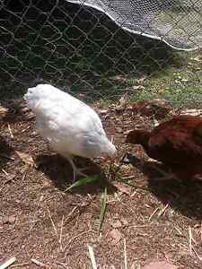 Cornation sussex pullet.  Point of lay hen Moodlu Caboolture Area Preview