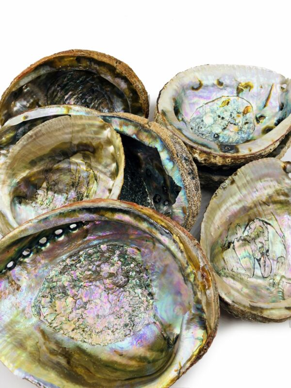 Abalone Shell, 5 Inches+ Lot of 20 Shells. Perfect for Jewelry-making & Crafts.
