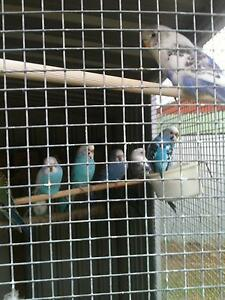 Budgies, Babies & Breeding age. Morphett Vale Morphett Vale Area Preview