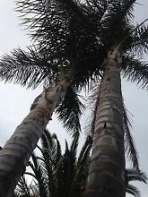 Fully grown Palm tree for Sale Hampton Park Casey Area Preview