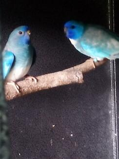 Bird    pastel scarlet  W/f blue Campbelltown Campbelltown Area Preview