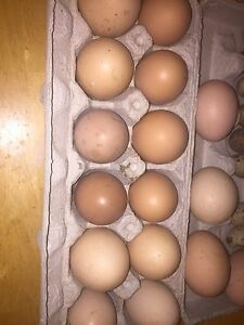 Barn yard chicken eggs