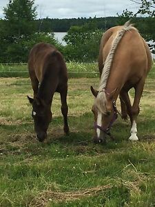 Palomino mare 15yr, 14.2 h , stud yearling,