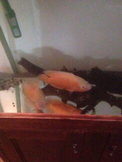 Aquarium fish for swap: albino oscars large. Newnham Launceston Area Preview