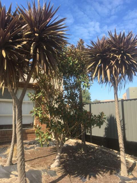 Beautiful Magnolia Tree Looking For A New Home Plants Gumtree