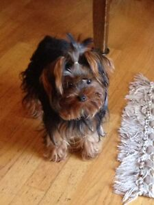 Doll faced Teacup Yorkie /Yorkshire Male