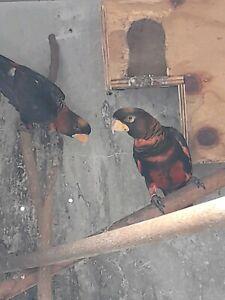 Dusky lorikeet proven breeding pair