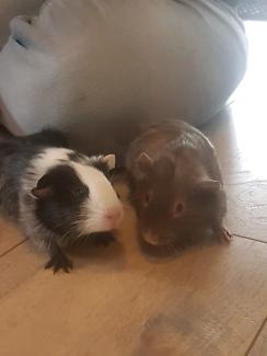 12 week old female guinea pig sisters