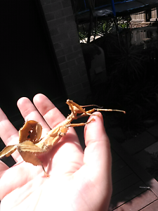 Spiny leaf insect Bli Bli Maroochydore Area Preview