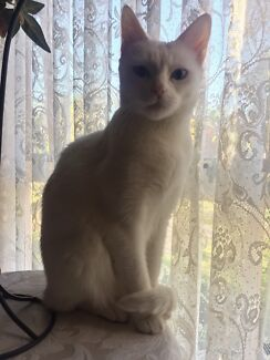Pure White Female Deaf Cat
